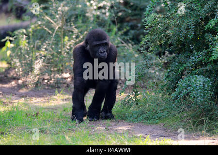 Western Lowland Gorilla, young, Africa, (Gorilla gorilla gorilla) - Stock Photo