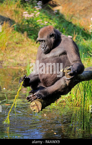 Western Lowland Gorilla, adult female at water, Africa, (Gorilla gorilla gorilla) - Stock Photo