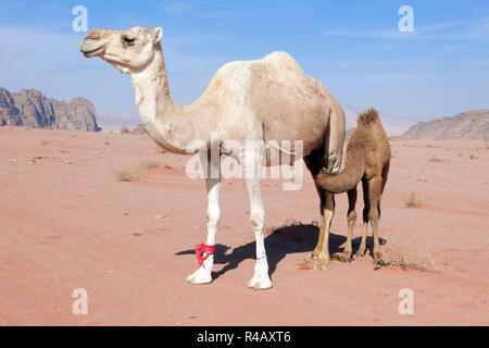 dromdary with young, Wadi Rum, Aqaba, Jordan, Asia, (Camelus dromedarius) - Stock Photo