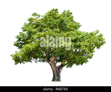 isolated big tree on White Background. tropical trees isolated used for design, advertising and architecture - Stock Photo