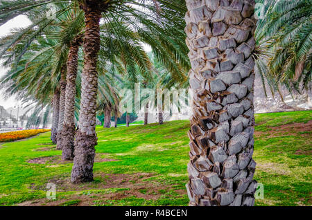 Field of date palm trees along the road. Shot from Muscat, Oman. - Stock Photo