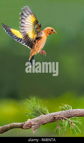 Young Goldfinch carduelis carduelis in flight. England UK - Stock Photo