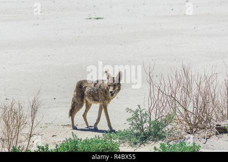 coyote stalk on roadside  in desert area. - Stock Photo