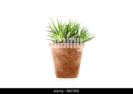 Haworthia fasciata succulent plant in flower pot - Stock Photo