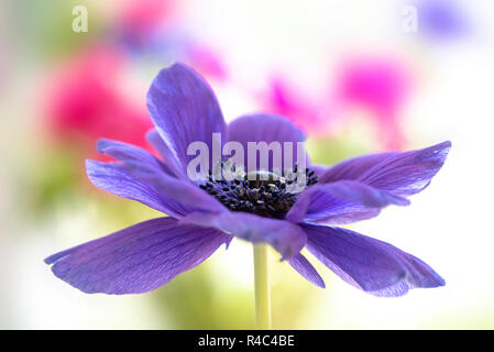 Close-up image of the beautiful Anemone De Caen purple spring flower also known as the Windflower, Anemone coronaria or Poppy Anemone - Stock Photo