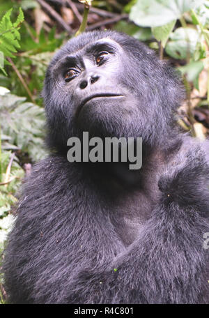 A  female mountain gorilla (Gorilla beringei beringei) relaxes after a morning feeding on forest vegetation. About 1,000 mountain remain in Uganda, Rw - Stock Photo