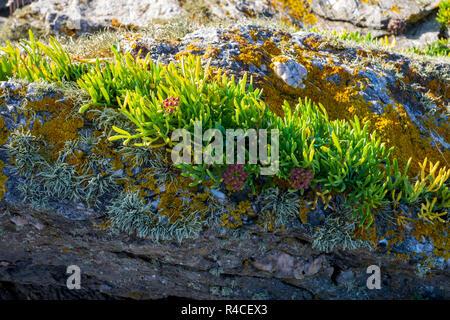 Rock Samphire - Crithmum maritimum - Stock Photo