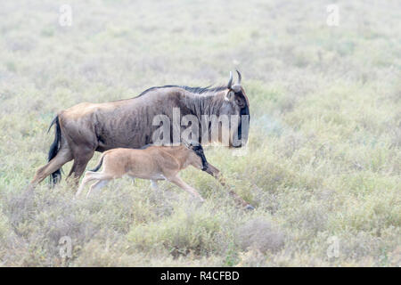 Blue Wildebeest (Connochaetes taurinus) mother with newborn calf running at the southern plains, during the migration, Ngorongoro conservation area, T - Stock Photo