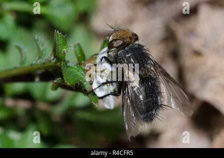 Tachinid Fly, Gonia sp., foraging - Stock Photo