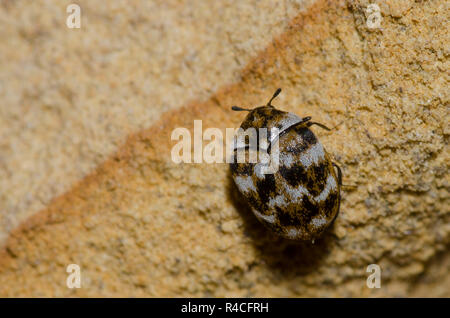 Varied Carpet Beetle, Anthrenus verbasci - Stock Photo