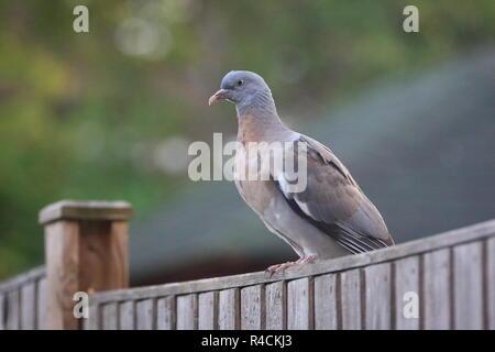 Juvenile Wood Pigeon (Columba palumbus) sitting on fence, England, UK - Stock Photo