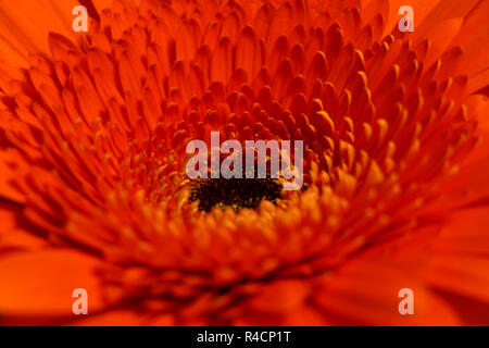 Macro shot of a bright orange daisy gerbera - Stock Photo