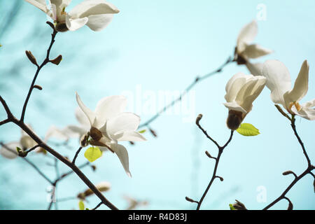 Blooming white magnolia tree in the spring on sky background. Selective focus - Stock Photo
