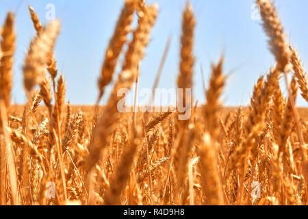 Wheat field. Ears of golden wheat close up. Beautiful Nature Sunset Landscape. Rural Scenery under Shining Sunlight. Background of ripening ears of meadow wheat field. - Stock Photo