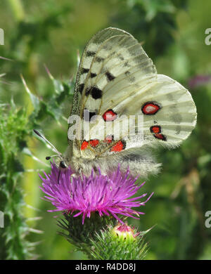 apollo butterfly in altmühltal,bottom,on purple thistle bloom - Stock Photo