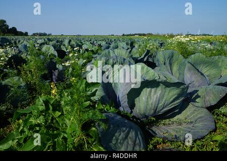 cabbage-head in a vegetable field - Stock Photo