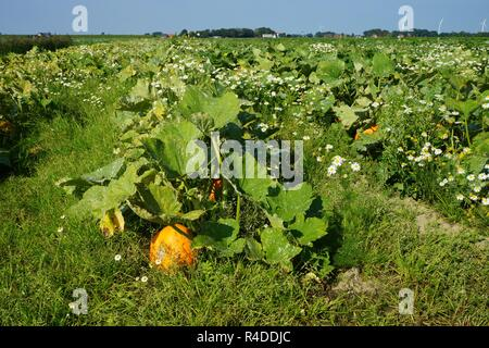 pumpkins in a vegetable field - Stock Photo