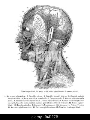 Vintage illustration of anatomy, transversal section of human head and neck with evidence of superficial nerves, anatomical descriptions in Italian - Stock Photo