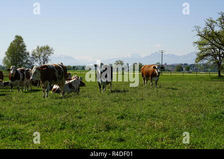 Idyllic landscape in front of the Alps with cows - Stock Photo
