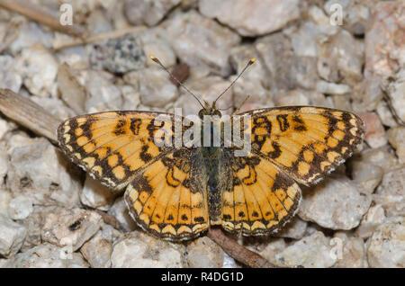 Mylitta Crescent, Phyciodes mylitta - Stock Photo
