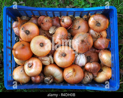 Freshly picked onions and garlic in blue plastic box on grass. Top view. - Stock Photo