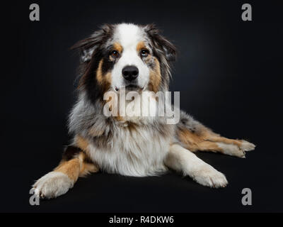 Beautiful adult Australian Shephard dog laying down front view, looking straight at camera with brown with blue spotted eyes. Mouth closed. Isolated - Stock Photo