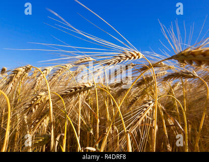Field of cereal in the summer - Stock Photo
