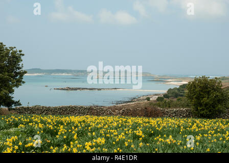 Stunning views across St Martin's, Scilly with a field of bright daffodils in the foreground and beautiful blue sea behind, on a sunny spring day. - Stock Photo