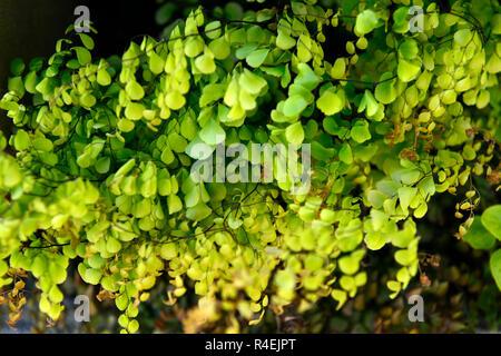 Adiantum venustum,evergreen maidenhair,Himalayan maidenhair,fern,foliage,green,shade,shady,shaded,garden,RM Floral - Stock Photo