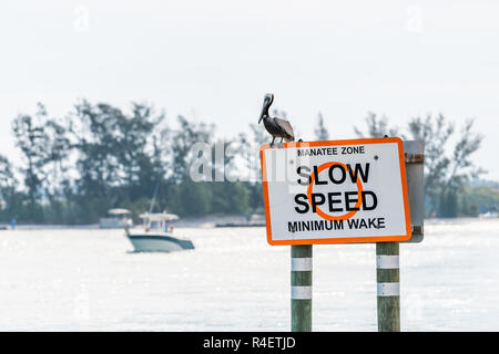 Eastern Brown Pelican in Venice, Florida on pier manatee sign, perched with motor boat in background in Marina Harbor slow speed limit - Stock Photo