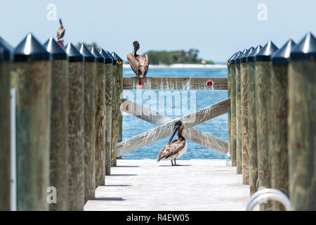 Many Juvenile Eastern Brown Pelican birds in Florida on pier, preening feathers with beak on marina harbor wooden dock boardwalk - Stock Photo