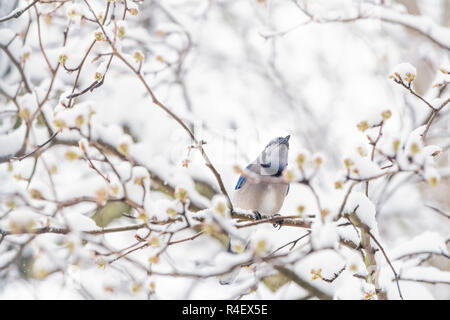 Closeup of fluffed, puffed up blue jay bird, looking up, singing, perched on sakura, cherry tree branch, covered in falling snow with buds, heavy snow - Stock Photo