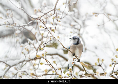 Closeup of fluffed, puffed up blue jay bird, looking, eye, perched on sakura, cherry tree branch, covered in falling snow with buds, heavy snowing, co - Stock Photo