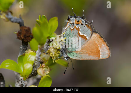 Juniper Hairstreak, Callophrys gryneus, nectaring from New Mexico Olive, Forestiera pubescens