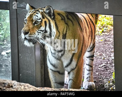 Close up view of a tiger - Stock Photo
