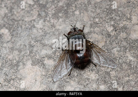 Tachinid Fly, Leschenaultia sp. - Stock Photo