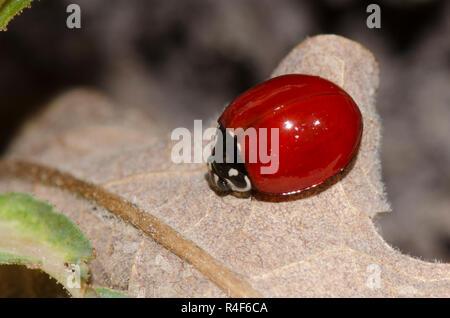 Spotless Lady Beetle, Cycloneda sanguinea, female - Stock Photo