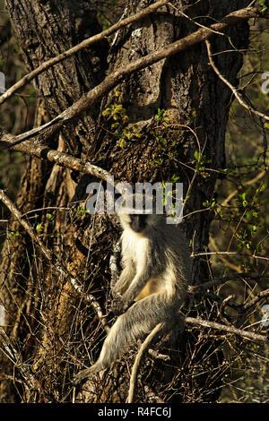Vervet Monkey ( Chlorocebus pygerythrus ) sitting on tree branch, South Africa - Stock Photo