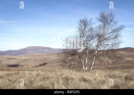 Lonely birch tree at the summit of the mountain surrounded by juniper bushes and dry autumn grass - Stock Photo