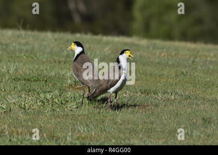 Two Australian, Queensland Masked Lapwings ( Vanellus miles ) standing on the ground chirping - Stock Photo