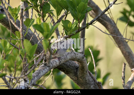An Australian, Queensland Peaceful Dove ( Geopelia striata ) well camouflaged perched in thick bush - Stock Photo