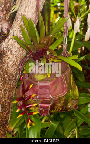 Bromeliad with green leaves and unusual hanging red and yellow flower bracts in container, recycled red leather hand bag, hanging beside tree trunk - Stock Photo