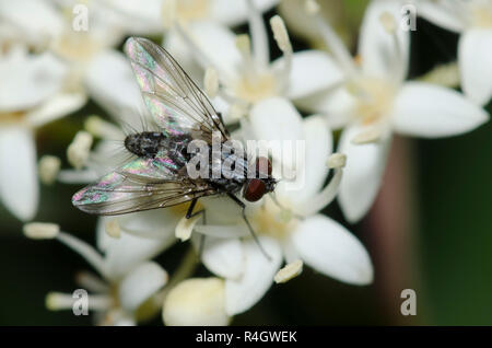 Tachinid Fly, Family Tachinidae, on Roughleaf Dogwood, Cornus drummondii - Stock Photo