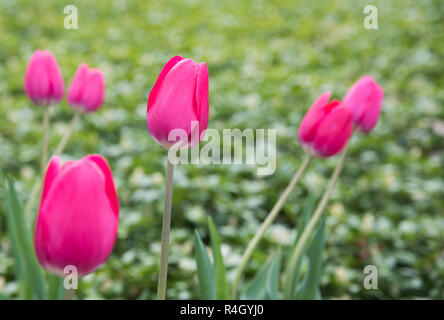 Hot pink tulips growing in outdoor garden with green background in Aurora, Illinois during springtime. - Stock Photo