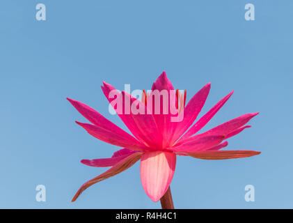 The soft focus of Nymphaea lotus, Nymphaeaceae, red pink lotus, with the blue beautiful sky cloud.The local vegetable food and Thai herb in Thailand. - Stock Photo