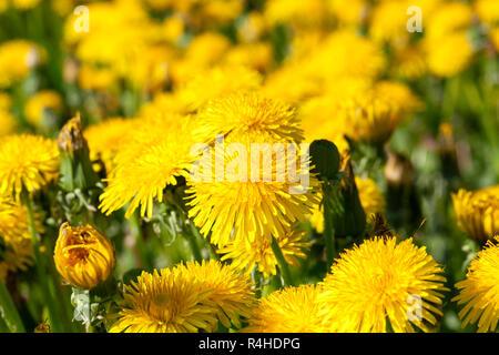yellow dandelions in spring - Stock Photo