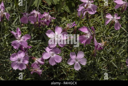 Cheddar pink, Dianthus gratianopolitanus, in flower; very rare in UK. - Stock Photo