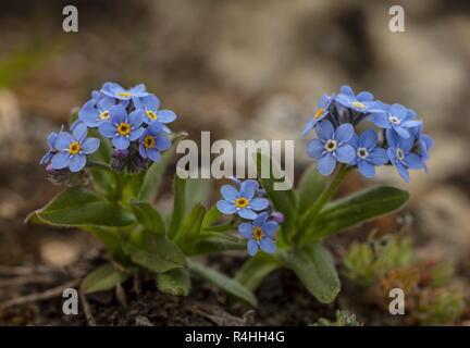 Alpine forget-me-not, Myosotis alpestris, in flower in the Swiss Alps. - Stock Photo