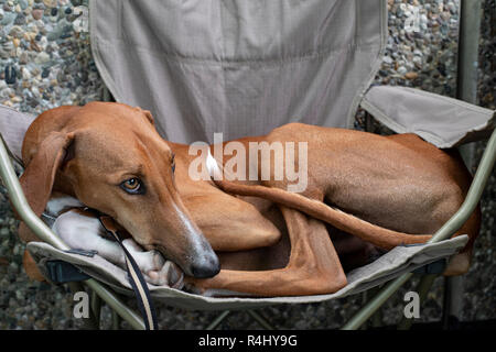 Azawakh Sahara dog with white tipped tail lying in a camping chair. - Stock Photo