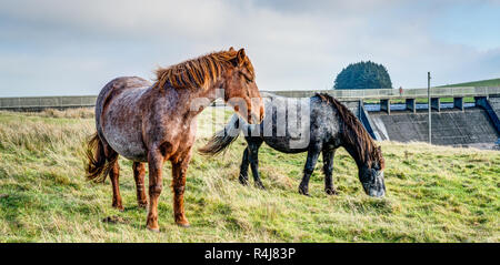 Two colourful Bodmin Moor Ponies at Crowdy Reservoir, Cornwall, at the beginning of winter, both browsing near the dam on a healthy diet of grass. - Stock Photo